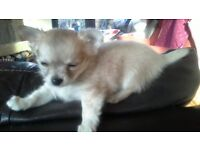 long haired chihuahua puppies for sale. Kc reg.