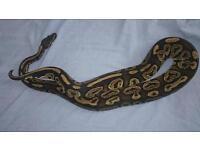 Royal pythons adults £50
