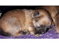 Stunning pedigree pomeranian pups