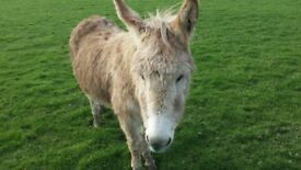 Donkey jenny 6 years old