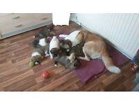 Akita American puppies
