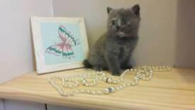 Pedigree british shorthair bsh kittens, blue ginger tortoiseshell fluffy