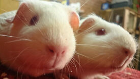 A Pair Of Pink Eyed White Guinea Pig Sows