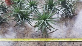 Air Plant (Tillandsia) - Ideal and unusual house plants!