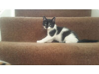 1 Beautiful Black And White Kitten For Sale