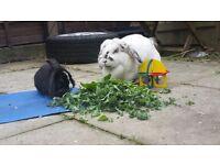 Female baby rabbit needs new home urgently