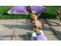 BEAUTIFUL LITTLE CHIHUAHUA PUPPIES FOR SALE