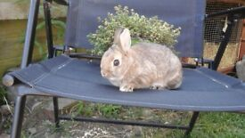 Buck netherland dwarf rabbits ready now for their new loving homes.
