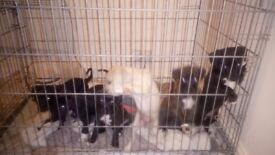 Whippet cross pups for sale