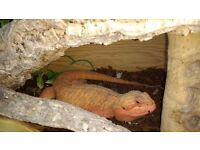 Amazing very rare 1yr Hypo Bearded Dragon with Vivarium, climate control and full setup
