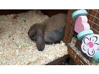 Baby lop rabbits