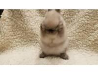 Netherland Dwarf Sealpoint Babies