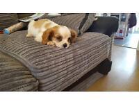 Beautiful Cavalier King Charles Spaniel Boy Puppy 8 Wks Old