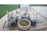 Cute Netherland Dwarf mix baby bunnies