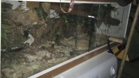 2xcorn snakes , full set up
