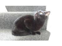 Beautiful Friendly Small Female 2yo Black Cat