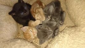 Kittens for sale - ready now