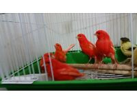 Canary birds many type and colour TOP CONDITIONS &HEALTHY out side Aviary birds