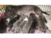 Black/Blue s.b.t.puppies