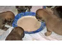 shorkie puppys