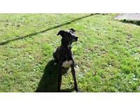 Coli cross deerhound greyhound