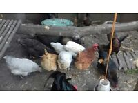 16 hens and 2 cockerels for sale. All must go in one lot