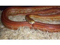 Ultramel Tessera Corn Snake