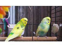 2 budgies with cage stand and accessories etc