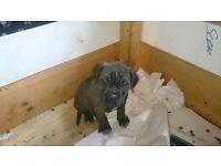 Mastif pups