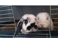 Pair of lovely bonded Mini Lop boy Rabbits For sale.