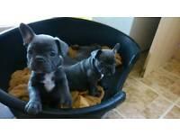 blue kc reg french bulldogs