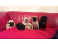 Pug puppies , kg reg , Lovely mixed litter , all colours