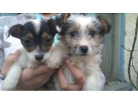 Beautiful Yorkshire terrier x jack Russel puppies ready now