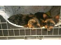 Pure Bread Puppies Yorkshire Terrier Girl & Boy
