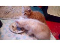 Beautiful BSH/Bengal kittens