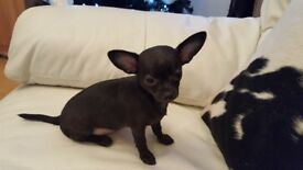 KC REG SMOOTH COAT CHIHUAHUAS