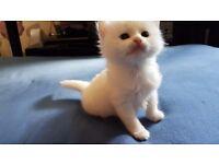 5 Turkish Angra kitten for sale