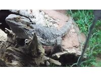Lizard - Bearded Dragon