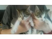 gorgeous Tabby Kittens free to good homes