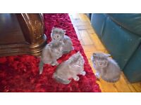maine coon x kittens blue fluffy
