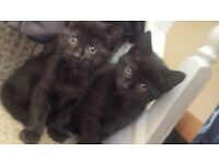 3 all black female kittens ( available 2nd May )