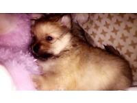 Perfect Pomeranian puppy's