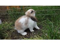 Baby Dwarf lops Rabbits for sale