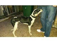 Whippet grey hound dog
