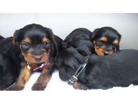 Yorkshire terrier puppy's for sale