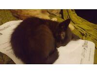 Beautiful Siamese x kittens