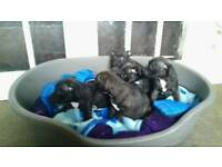staff pups for sale