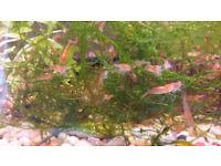 Red Cherry Shrimps