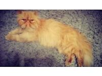 Gorgeous Solid Red Persian Cat