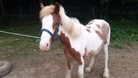 Skewbald Gelding For sale